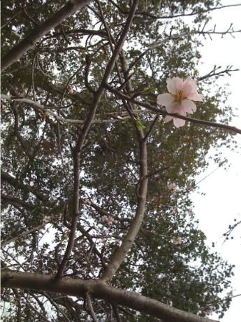 Sakura_rain_1