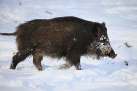 Paleo pig