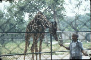Zoo - feeding giraffe 1