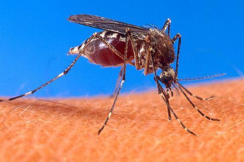 Mosquito-host