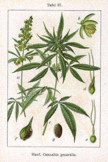 PD cannabis-generalis-0164