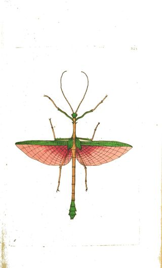Animal - Insect - Stick insect, green with red wings