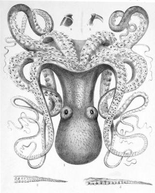 Octopus_cyanea3