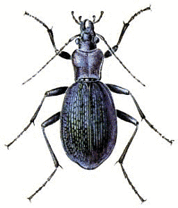 Blue_Ground_Beetle