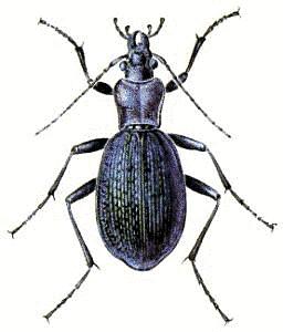 Blue_Ground_Beetle