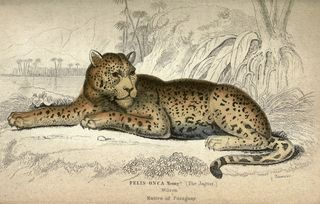 Jardine's speckled jaguar from Paraguay