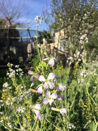 Chaos garden daikon flowers 3